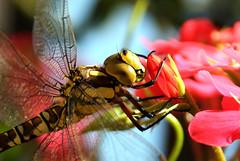 Libelle / Odonata holding on to a flower (Sim1Simone) Tags: flower detail macro bug insect close libelle odonata mywinners abigfave anawesomeshot
