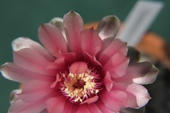 Gymnocalycium baldianum (siwa) Tags: pink flowers cactus flower cacti kwiaty suculent kaktus kwiat gymnocalycium kaktusy sukulenty sukulent gymnocalyciumbaldianum rowe gymnocaliciumbaldianum kwiatykaktusy