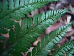 Arachniodes aristata 3 (barryaceae) Tags: zamia place reserve forster australianrainforestplants australianferns australian rainforest plants species ferns new south wales australia ausrfps ausferns dryopteridaceae