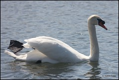 Swan (Isabel Fagg) Tags: netherlands birds nederland swans cygnes cygnusolor zwanen knobbelzwaan benthuizen isabelfagg