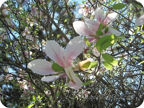 tulip magnolia bloom