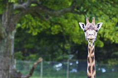 Your Having a Giraffe (simon.anderson) Tags: nikon giraffes windsor longleat safaripark 70300 d300s