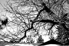 [7/365] Through Black & White (sb4life) Tags: blackandwhite snow tree wrightwood fun inthemountain mtkare 365challenge canon40d