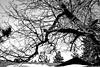 [7/365] Through Black & White (sb4life) Tags: blackandwhite snow tree wrightwood fun inthemountain mtkare 365challenge canon40d