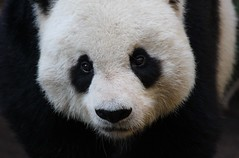 The Face of San Diego (San Diego Shooter) Tags: california zoo panda sandiego sandiegozoo desktopwallpaper pandas zoos zooanimals giantpandas gaogao sandiegopandas animalbackgrounds animaldesktopwallpaper