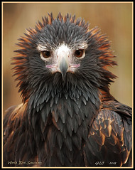 Wedge-Tailed Eagle ll (GLC1163) Tags: bird nature canon eagle raptor birdofprey wedgetailedeagle worldbirdsanctuary 40d platinumphoto flickrdiamond sparky1163