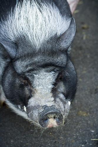 A Hog @ Maymont