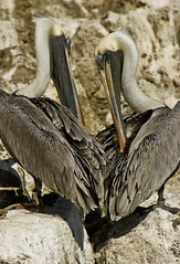 Happy Valentines Day!!!! (orly12) Tags: love pelicans outdoors rocks shadows heart florida miami beak feathers posing valentinesday birdsanctuary twisting canonxti orly12