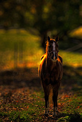 Sidelit Beauty (KY-Photography) Tags: autumn trees light sunset shadow red horse sun ontario canada green fall nature beauty field grass animal yellow backlight leaf raw dof action bokeh ky wildlife guelph nikkor khalid equine allrightsreserved kal uog sidelight explored hbw capturenx nikond80 18135mmf3556g kyphotography equineguelph