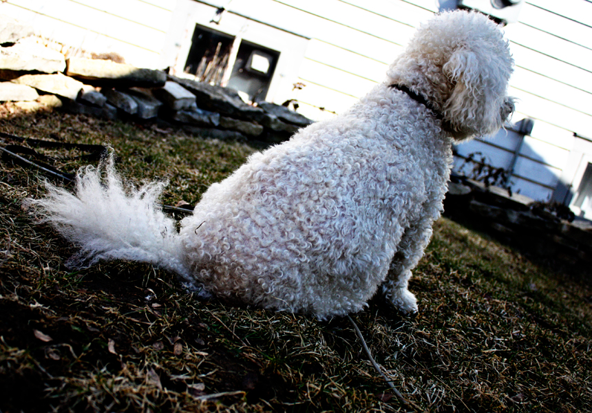 sammy, the largest bichon in the world.
