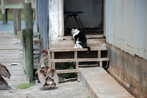 Cat and Pelican