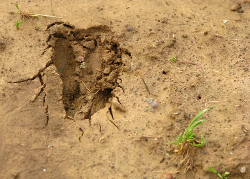deer track in the garden