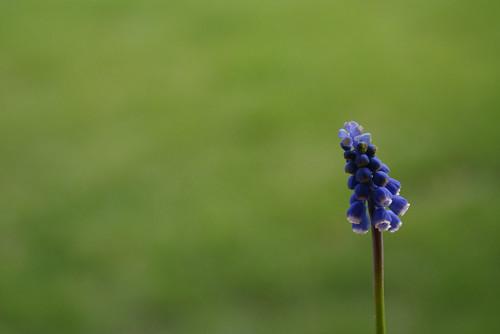 124/354 - Wild Hyacinth