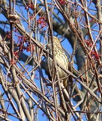 Brown thrasher singing in maple tree