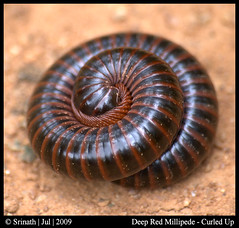 Deep Red Millipede - Curled Up (Sri ..... !!) Tags: flickr shots super best millipede