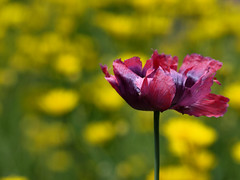 Papaver (evert-j) Tags: flowers fleurs garden blumen poppy tuin bloemen papaver wonderfulworldofflowers