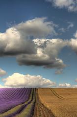 Parallel Lines (gracust) Tags: blue sky beautiful field clouds landscape purple farm scenic lavender mauve hertfordshire hitchin parallellines otw naturesgallery ickleford aplusphoto naturewatcher platinumheartaward hitchinlavender grouptripod