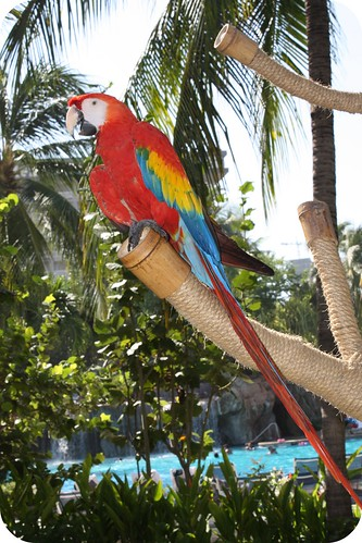 acapulco parrot by you.