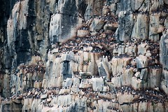 Thick-Billed Murres at the Cape Fanshawe Bird Cliffs, Svalbard (Yale_Rebecca) Tags: bird norway svalbard arctic lindblad nationalgeographic birdcliffs thickbilledmurres august2009 summer2009 nationalgeographicexplorer photocontesttnc09 brunnichsguillemots rebeccayale