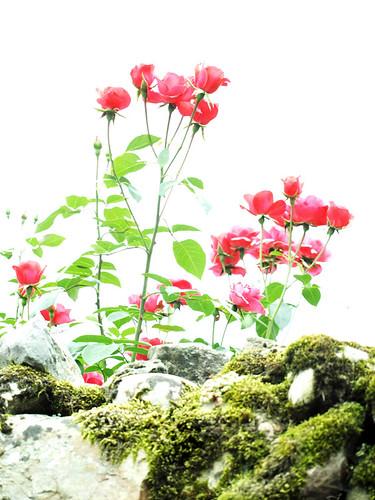 Las rosas del muro