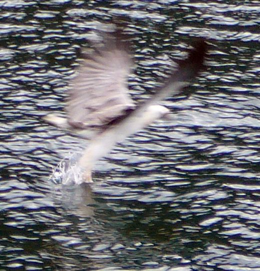 White-bellied Sea-eagle Hunting