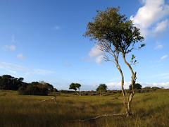 Grassy Dunescape (B-mer) Tags: morning trees sky tree grass clouds landscape bomen dunes wolken august olympus gras 12mm lucht duinen zand bmer amsterdamse e510 zd waterleidingduinen 1260mm kennemerlandzuid