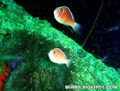 ปลาการ์ตูนอินเดียแดง
