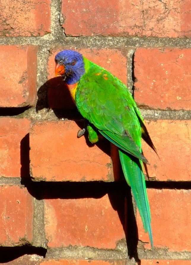 lorikeet on brick wall
