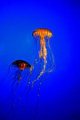 Llgance dune danse. (T@13) Tags: aquarium larochelle platinumheartaward