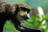 Blaumaulmeerkatze (Michael Döring - thx 4 16 million views) Tags: zoo bismarck gelsenkirchen d300 flickrsbest zoomerlebniswelt blaumaulmeerkatze afs70200 michaeldöring