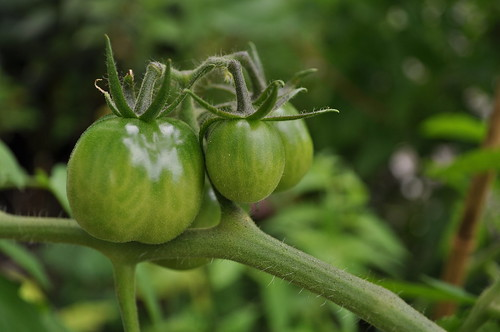 Green Tomatoes In September