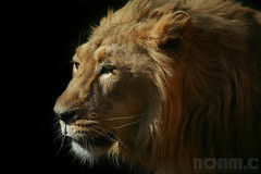 Asiatic Lion (NoamC - www.noamchen.com) Tags: portrait male nature animal zoo wildlife lion bigcat endangered mane gir asiaticlion zurichzoo asianlion specanimal noamchen  girlion noamc