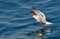 Running Gull (Sevastopol) Tags: blue sea bird water nikon gull running ukraine nikkor reflexions sevastopol crimea blacksea larus d300 laridae  charadriiformes  laruscachinnans  yellowleggedgull