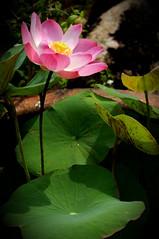 Bloomin' Lotus