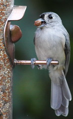 20090905_5185 (EOTechie) Tags: bird titmouse tufted tuftedtitmouse