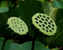 """Lotus Capsules--Sun Worshipers"" (DL052) (Gerry Gantt Photography) Tags: washingtondc lotus kenilworthaquaticgardens sacredlotus nelumbonucifera lotusseeds lotuscapsule"