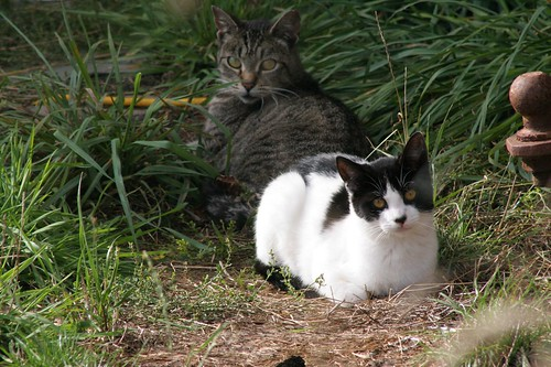 Cow Cat and Friend 2