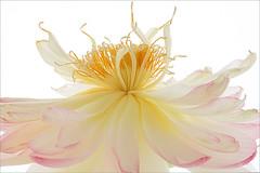 Lotus Flower - IMG_4865-1000 (Bahman Farzad) Tags: flower macro yoga peace lotus relaxing peaceful meditation therapy lotusflower lotuspetal lotuspetals lotusflowerpetals lotusflowerpetal