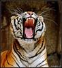 "The threat ... (Claudio Gennari ...""Cogli l'attimo ferma il tempo"") Tags: india color nature animal feline tiger siberia strength aggression streaking bengal claws tusks carnivore canineteeth ligre mycameraneverlies ruthlessness flickrlovers vosplusbellesphotos flickrbigcats thrat mangiator"