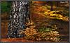 ETNA PARK  -  P1157387_8_9  -  HDR (Felipe 1930) Tags: new plant oak pines trunk sensational soe visualart naturesbest pictureperfect cubism supershot bej golddragon naturesgallery mywinners mywinner abigfave crystalaward diamondclassphotographer mycameraneverlies raregems citrit ysplix excellentphotographeraward theunforgettablepictures overtheexcellence filippo1930 etnapark betterthangood theperfectphotographer goldstaraward flickrsexquisiteshots multimegashots colourvisions rubyphotographer worldbestdazzling theenchantedcarousel photographersgonewild thebestgallery dragondaggeraward dragonflyawardgroup theenvyofphotoshopandphotoart hdrstrivingtowarexcellence