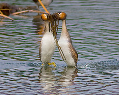 Mergulho-de-crista / Great crested grebe (Antnio Guerra) Tags: wildlife birdsinportugal avesemportugal birdwatching birdwatcher greatcrestedgrebe naturesfinest podicepscristatus supershot avianexcellence goldwildlife