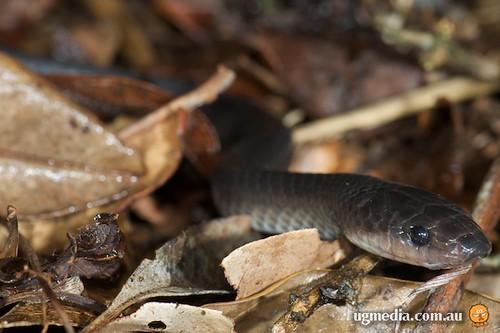 Slaty-grey snake (Stegonotus cucullatus)