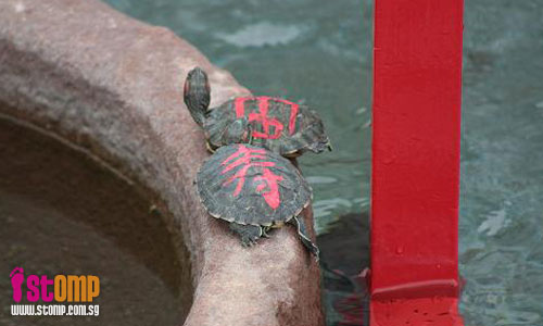 Animal cruelty at temple? Tortoises with markings may fall victim to luck-seekers