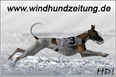 Coursing_Whippets04