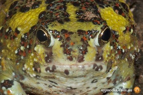 Holy Cross frog (Notaden bennetti)