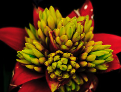Not Edible (julesnene) Tags: california flower bromeliad sanfranciscoconservatoryofflowers julesene