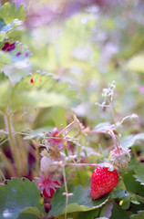 *** (k-ko) Tags: film nature cafe strawberry bokeh osaka om2