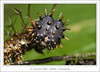 13.4 Caterpillar ... Hello ... (liewwk - www.liewwkphoto.com) Tags: park red wild hairy orange brown black macro green nature animal closeup fauna canon bug garden dark insect spiky leaf flora natural outdoor wildlife moth butterflies lepidoptera foliage caterpillar wilderness pests frim mpe65 50d canon50d aplusphoto eatingmachines mpe65macro