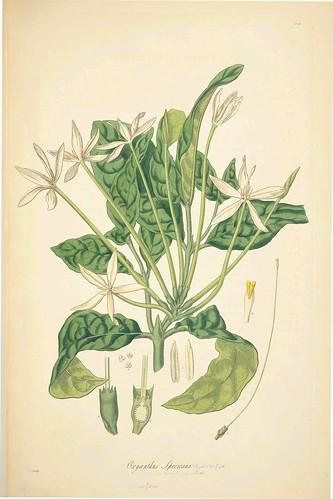 Oxanthus speciosus