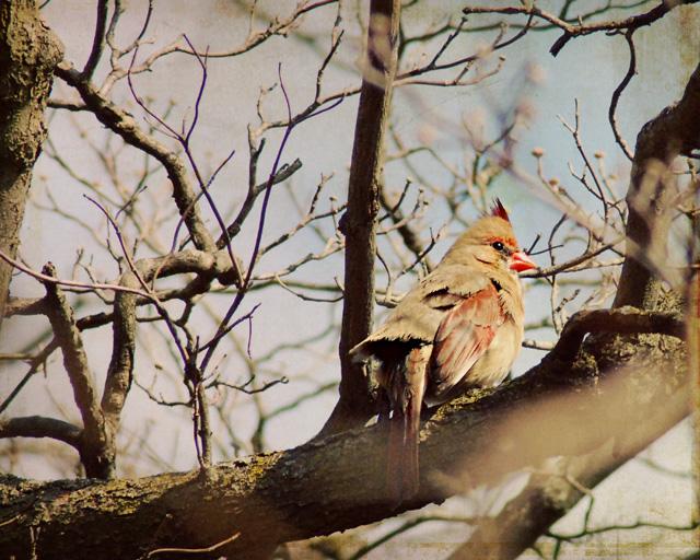 Female Cardinal 2